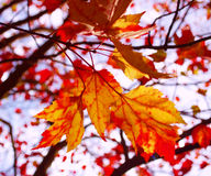 Autumn/fall leaves Stock Photography