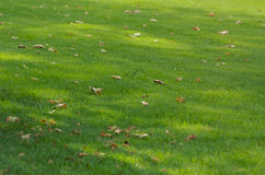 Autumn fall of the leaves. Sun spots on green grass with leaves Stock Image