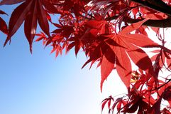 Autumn\fall leaves. Autumn\fall red leaves hanging from a branch Royalty Free Stock Photos