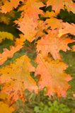 Autumn/fall leaves. Colourful autumn/fall oak leaves Royalty Free Stock Photography