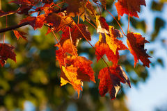 Autumn-Fall Leaves Stock Photography