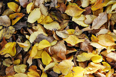 Autumn or fall leaves Royalty Free Stock Photo