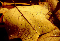 Autumn Fall Leaves. Wet Autumn Fall Leaves in the morning sunlight stock image