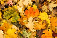 Autumn fall leaves. Background of colorful autumn maple leaves covering the ground royalty free stock photo