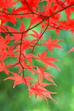 Autumn fall leaves. Red autumn leaves from maple branches royalty free stock image