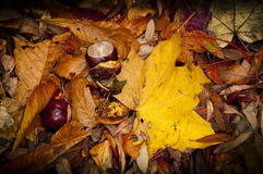 Autumn Fall leaves and chestnuts Stock Photo