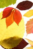 Autumn, fall leaves decorative still at studio whi. Te background, using the transparency stock photography