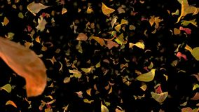 Autumn fall leaves frontal - black bg //  4k realistic falling foliage video background loop. Falling autumn leaves, flying towards the viewer. Leaves are stock footage