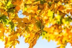 Autumn Fall Leaves giallo dorato immagine stock libera da diritti