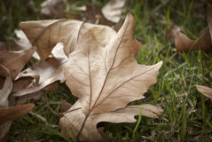 Autumn Fall Leaves On Grass Background Scene. Dry Autumn Fall Leaves Background Scene Stock Photography
