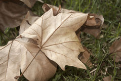 Autumn Fall Leaves On Grass Background Scene. Dry Autumn Fall Leaves Background Scene Stock Photos