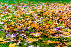 Autumn fall leaves on grass. Autumn or fall leaves on green grass Royalty Free Stock Images