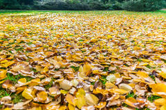 Autumn fall leaves on grass. Autumn or fall leaves on green grass stock image