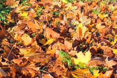 Autumn or Fall leaves on the ground. Stock Image