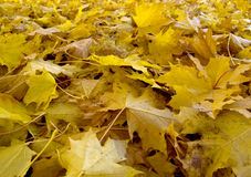 Autumn (fall) leaves in Rosenstein Park, Stuttgart Stock Image