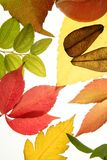 Autumn, fall leaves still white background Royalty Free Stock Photography