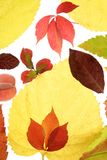 Autumn, fall leaves still  white background Stock Photography