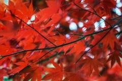 Autumn fall maple foliage Stock Photos