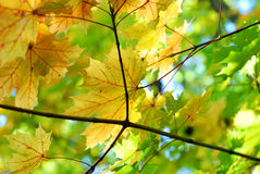 Autumn fall maple leaves. A bunch of fall leaves Royalty Free Stock Photo