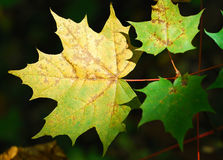 Autumn fall maple leaves. A bunch of fall leaves Royalty Free Stock Photography
