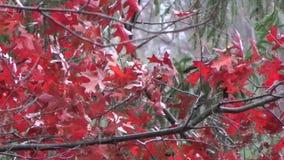 Autumn Fall Oak Tree leaves & weeping cedar wind, snow, red, green stock video footage
