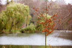 Autumn fall park. Lake and weeping willow tree. View of lake in autumn fall park with a weeping willow tree in in the background Stock Images