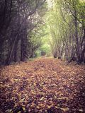 Autumn or fall path through the forest. A Carpet of brown leaves on the floor of an Autumn or fall path through the forest royalty free stock images
