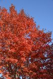 Autumn, fall red maple tree leaves. Autumn, fall colorful red maple, Acer Rubrum, tree leaves with blue sky Stock Images