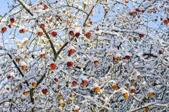 Autumn  apples harvest on tree covered fresh snow, autumn background Stock Photography