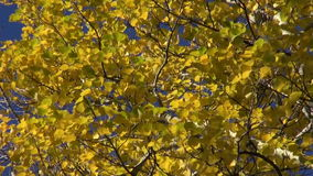 Autumn fall time aspen branch with golden leaves and wind stock footage