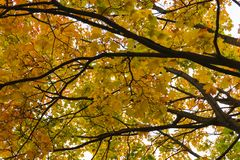 Autumn fall tree in forest with brown branches and yellow orange green leaves in park on a sunny day outdoor background image from Royalty Free Stock Photo