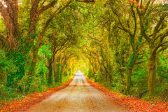Autumn or fall, tree straight road on sunset. Maremma, Tuscany,. Autumn or fall, trees tunnel road on sunset. Maremma, Tuscany, Italy Europe royalty free stock photos
