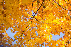 Autumn Fall trees on blue sky. Orange and yellow leaves on a blue sky Royalty Free Stock Images