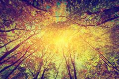 Autumn, fall trees. Sun shining through colorful leaves. Vintage royalty free stock photo
