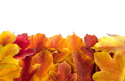 Autumn. Fall viburnum leaves Royalty Free Stock Photo