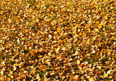 Autumn, fall yellow leaves. Beautiful nature landscape, fall yellow leaves in sunny day royalty free stock images