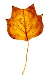 Autumn Fall Yellow Poplar Leaf. Yellow Poplar leaf in fall or autumn Royalty Free Stock Photos