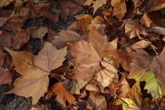 Autumn. Fallen autumn leaves in the Park. Autumn. Fallen autumn maple leaves in the Park stock photography