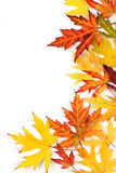 Autumn fallen colored leaves on white background Royalty Free Stock Photos