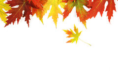 Autumn fallen colored leaves on white background Stock Image