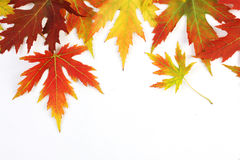Autumn fallen colored leaves on white background Royalty Free Stock Photo
