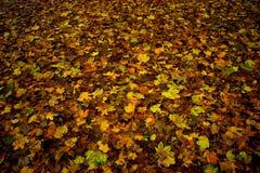 Autumn. Fallen colorful  leafs Stock Photo