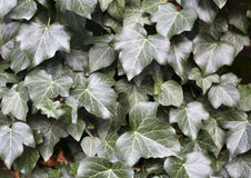 Autumn fallen  ivy leaves as a wallpaper Royalty Free Stock Photography