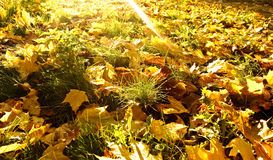 Autumn fallen leaves background Royalty Free Stock Images