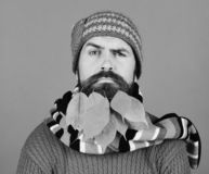 Autumn and fallen leaves concept. Guy with confused face. Wears warm hat isolated on green background. Fall season and hipster style. Man with yellow cherry royalty free stock photos