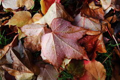 Autumn. Fallen leaves covered by morning dew Stock Photography
