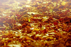 Autumn fallen leaves lit by the afternoon sun Stock Photography