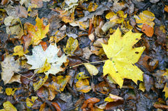 Autumn fallen leaves. Yellow, orange, brown autumn fallen leaves under a tree in park Royalty Free Stock Photos