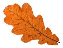 Autumn fallen orange leaf of oak tree isolated. On white background royalty free stock photography