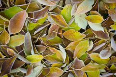 Autumn, fallen yellow leaves with hoarfrost.  Royalty Free Stock Photo